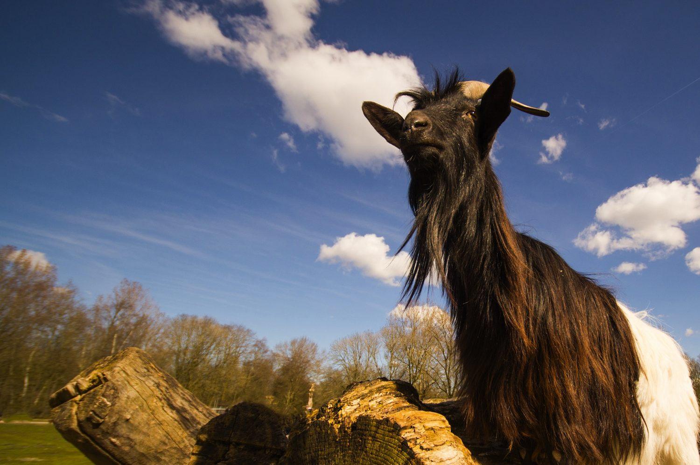 Horny Goat Weed (Epimedium) For Rock Hard Erections