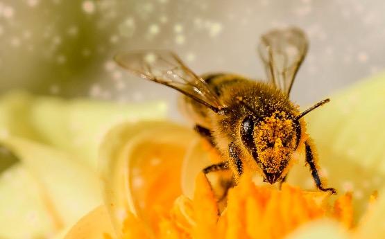 bee pollen aphrodisiac