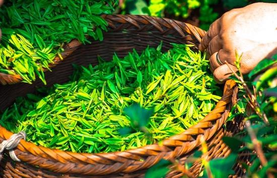 green tea aphrodisiac