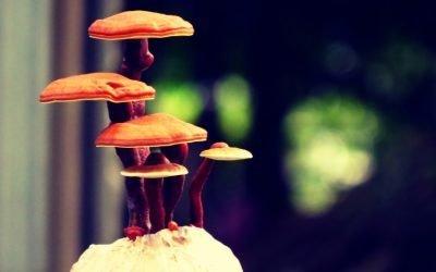 Top 5 Best Reishi Mushroom Supplements – (2020 Reviews)